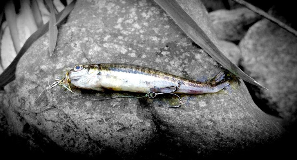 pêche au vairon