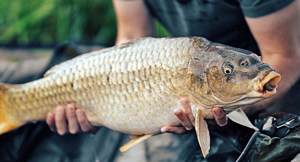pêcher la carpe